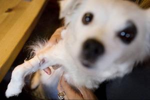 En av Pernilla Perssons hundar, Zaya, blev rejält dålig efter att ha simmat strax utanför Andersön. Men efter behandling med dropp, koltabletter och kortisonsprutor på Östersunds djursjukhus mådde Zaya på söndagen relativt bra.