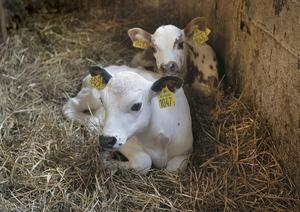 Mjölkkobesättningen ska utökas med kalvar från den egna gården.