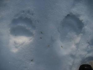 Fotspår i snön. En björn lämnade på söndagen sitt ide i trakterna av Norra Garberg i Mora. Mats Morell fotograferade fotspåren.