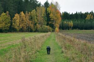 Sommaren är slut och skogens lövträd har fått sin gula höstfärg.Labradoren Bella är på hemväg efter att ha varit på en eftermiddagspromenad. Husse gick före och tog bilden.