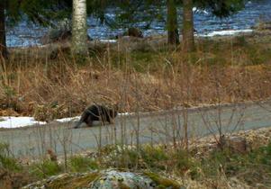 En bäver är ute och promenerar i Sunnerstaholm. Vattnet som syns är Voxnan.