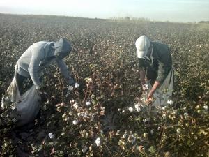 Bomull skördas i Uzbekistan. Bomullen orsakade det amerikanska slaveriet och var den tändande gnistan till inbördeskriget. I dag är den vår viktigaste textilfiber men också problematisk eftersom odlingen kräver mängder av bekämpningsmedel.