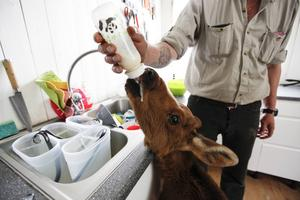 Ruben äter 4 liter mjölkersättning om dagen.
