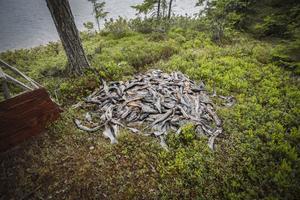 En stor hög med döda gäddor ligger och ruttnar vid Indalsälven i närheten av Näverede kraftstation.