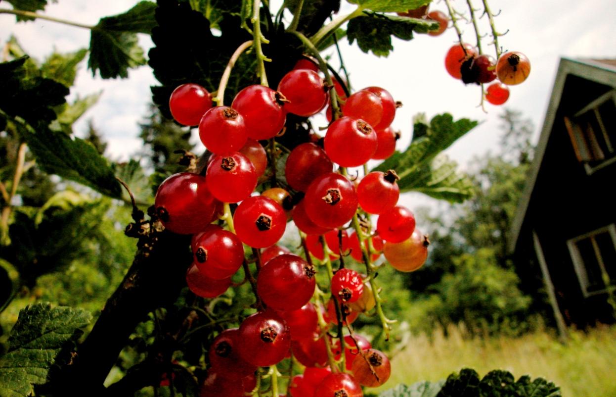 frysa körsbär med kärnor