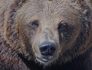 Björnstammen växer till sig i Sverige.