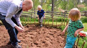 Gustaf Söderfeldt från Åmmeberg med sönerna Vilgot och Alf sätter bondbönor i det nyanlagda trädgårdslandet på Tivedstorp.