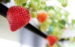Trenden med allt längre odlingssäsonger och kravet på mer närproducerat har lett till försöket med tidiga jordgubbar på Rödön. Redan nu i maj lyser de röda bären bland plantorna i växthuset. Foto: Håkan Luthman
