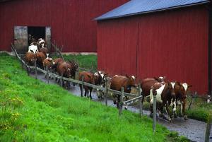 Nyvunnen frihet. De lyckliga kossorna i Tyllsnäs, hos mjölkbönderna Gunnar och Magnus Olsson, räds inte regn utan skuttade som kalvar när de i går fick beta utomhus för första gången i år.
