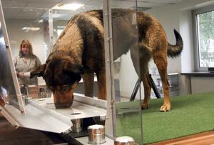 """Lugn innan. Schäfer-rottweilern Thelma tränas av hundföraren Magnus Sjöholm. """"Det gäller att få henne lugn och avslappnad innan hon går upp på plattformen, så att hon inte blir desorienterad"""" säger han."""