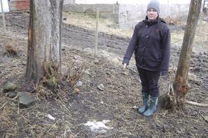 Kvar efter fårattacken i inhägnaden syns bara ulltussar, säger Cindy Malmsten, som ansvarar för fåren på den berörda gården.