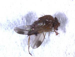 Den lilla bananflugan, som envist surrar runt våra fruktfat, är allmänt bekant. Mindre känd är släktingen Drosophila suzukii som är ett gissel för frukt- och bärodlare i många europeiska länder. Nu har Jordbruksverkets växtskyddscentral, som bevakar växtskadegörare, konstaterat att flugan finns i Skåne.