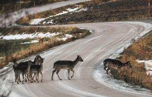 När det är halt på vägen gäller det att vara uppmärksam under bilkörning. När man minst anar kan det springa upp eller stå djur på vägen.