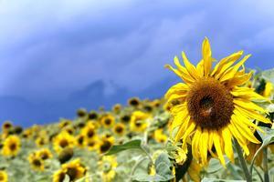 Solrosen, en oljeväxt som också är en njutning för ögat.