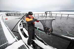 Arkivbild från fiskodlingen i Landön.