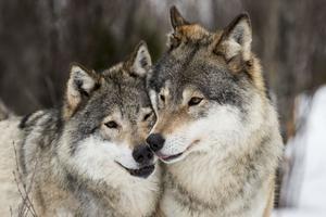 Många människor vill ha en artrik natur. Många anser att vi människor ska låta andra arter finnas, inte bara de arter som är mest nyttiga för oss, utan även arter som kan ställa till en del besvär, skriver debattören.
