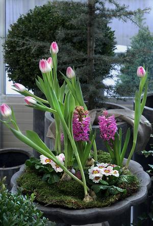 Hyacinter och tulpaner gör sig bra tillsammans.
