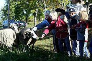 Foto:NICK BLACKMONMatglada gutefår. Det var många yngre som trängdes för att mata gutefåren med frisk klöver som uppskattades.