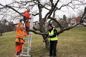 Tid att beskära. Mia Johansson, Marie Hansson och Erik Gustafson arbetar med att beskära äppelträden vid Karlslund.