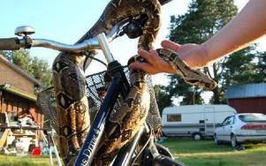 Ormets ägare Dan Vestman försöker få ormen att posera, då hon mest vill ringla iväg. Foto: Stefan Rämgård