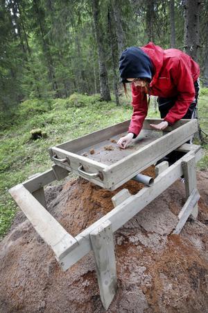 sållar. Arkeologistudenten Frida Löjdström torrsållar jorden för att kunna få fram de minsta fynden.