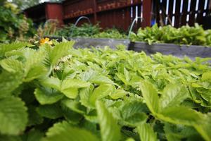 I trädgården finns det flera olika pallkragar med odlingar, bland annat jordgubbar och smultron.