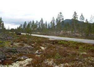 Det var i onsdags kväll som familjen Chaaya hade begett sig till Björnvallas travbana för att spana efter lite björn. Helt plötsligt springer en älgko med kalv över vägen – med en björn i hasorna.   Foto: Diana Chaaya