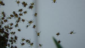 Nykläckta spindlar på äventyr