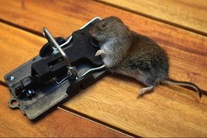 En av de möss som fastnade hos fastighetsägaren i Offerdal under gårdagen.
