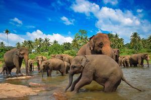 Elefanter är en del av upplevelsen på Sri Lanka.   Foto: Suranga SL/Shutterstock.com