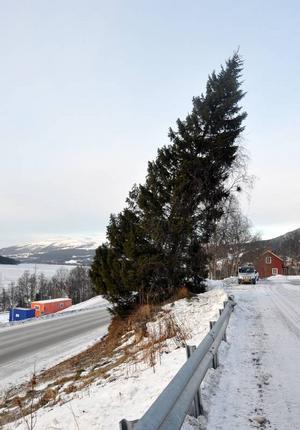 Bara slänten tycks ha räddat den här storgranen vid Årevägen.