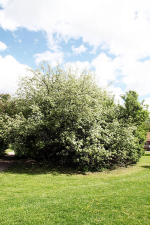 Trädet blommar för fullt nu. Ingen vet exakt hur gammalt det är, men gissningsvis 150-200 år.
