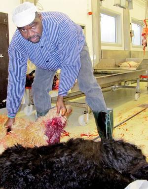 I fredags utförde Yassin Barakat en halalslakt vid slakteriet Rafnaslakt i Ramsele där han tackade Gud vid själva avblodningen. Lammen kommer från Göran Rudbäck i Rossön.