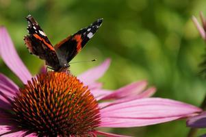 Nu är det gott om fjärilar i våra rudbeckior. Också de vackra amiralerna