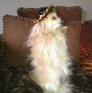 Pomeraniern mini kan stå på baktassarna i minuter,bara för att bli kliad på magen, och nu har hon dessutom en fin liten mexikansk sombrero på huvudet,lagom till påsk, (Mini är en tik som är min granne Maggans lilla söta hund)
