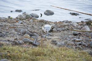 Det ligger fullt av fiskar som är döda, även uppe på land.