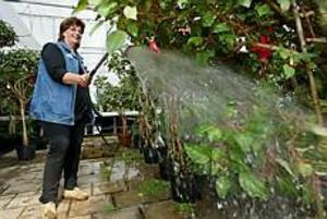 Foto: LARS WIGERT Släcker törsten. Ewa Göterfors var minst sagt gladöver att få vattna sina fuchsior i gen i kommunens växthus. Det ska hon göra varje dag nu trots att det är strejk.