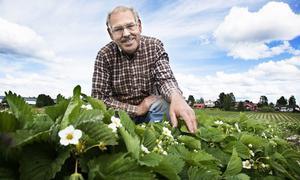 Tord-Erik Tillman räknar med att försäljningen av de ekologiska jordgubbarna kommer i gång på allvar om ungefär 1,5 vecka. Minst 30 000 liter kommer att plockas under juli. Foto: Arkiv