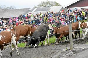 Inte alla kor hade styrsel på benen när det var dags att rusa ut.