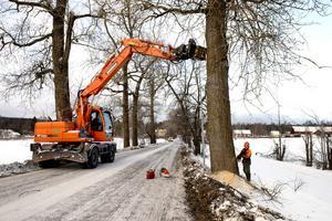 Under tisdagsmorgonen startade arbetet med att fälla de gamla popplarna och grävmaskinens arm säkrar upp medan Stig Svedin sågar upp ett fällskär i trädet.