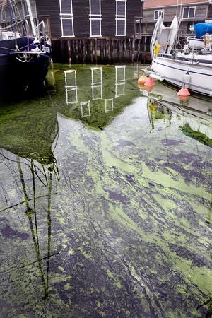 Även om algerna försvinner kan vattnet vara giftigt upp till en månad efteråt.