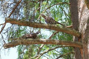 Två små fåglar av kvistar och grenar kuttrar i en tall.