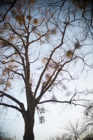 Mistlarna är svåra att räkna när bladen har sina löv, därför har inventeringen istället gjorts under vintern då det syns tydligt i trädkronorna.