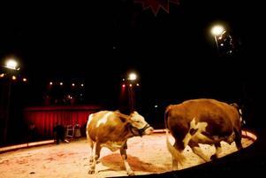 överraskning. Kossor på cirkus, kan de göra några konster? Nja, inte överdrivet många. Möjligen är det överraskningsmomentet som går hem. Ingen tror väl att de här jättebamsingarna ska dyka upp. Cirkus Maximum har andra djur som kan betydligt mer.