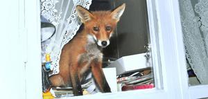 Fönstertittare. Den unga räven tog altanvägen in... och fick fösas ut.
