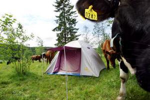 Det kan vara en god idé att prata med markägaren innan man sätter upp sitt tält. Tält i betes mark kan vålla problem för både campare och markägare.