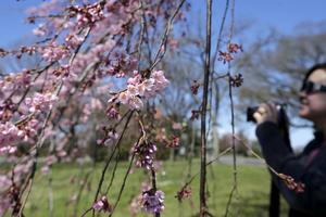Turister fotograferar körsbärsblommor i Washington.