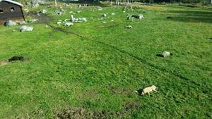 Fem får dödades av en varghane på söndagen i Letsbo.