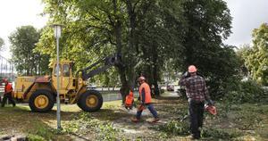 Lindarna vid Fredens kulle har gjort sitt, men tekniska förvaltningen ska plantera nya träd.