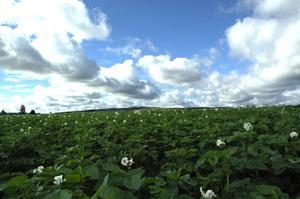 Potatis. I Södersätra växer potatisen ända upp till himlen. Foto:Berndt Norberg